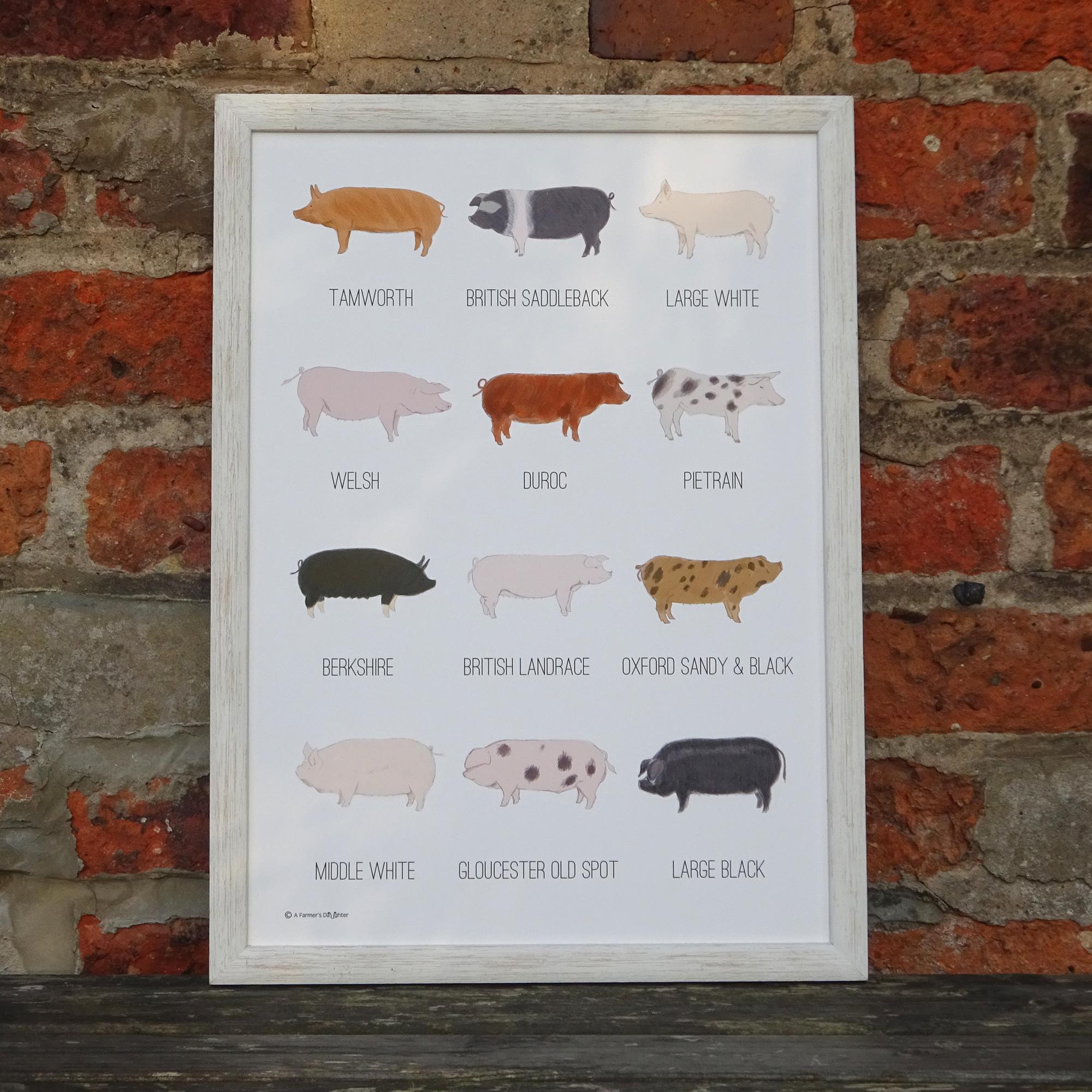 pig breeds print_WEB